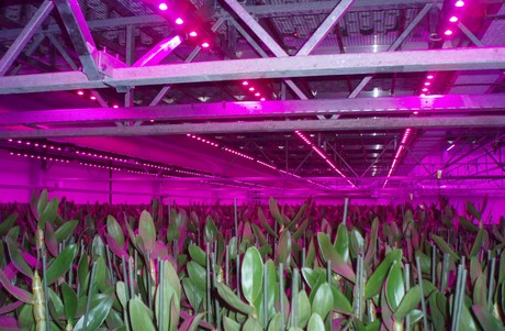 Stolze installeert LED verlichting in meerlagenteelt bij De Hoog ...