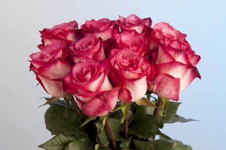 floraldaily com kenya bloomingdale roses introduces two new roses
