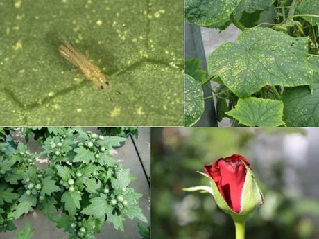 Thrips in ornamental plants: chemical and biological control