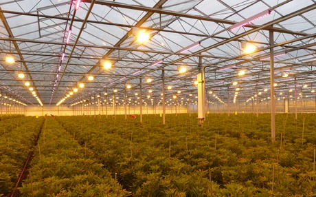 Alstroemeria growers benefit from hybrid lighting